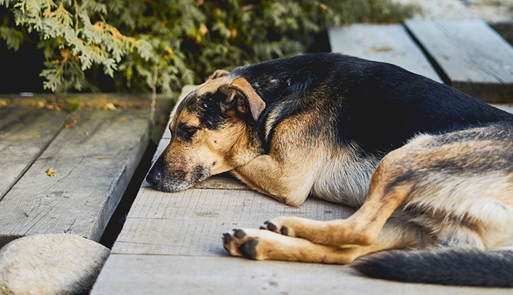diabetes signs in dogs