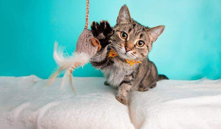 Exercises-for-indoor-cats