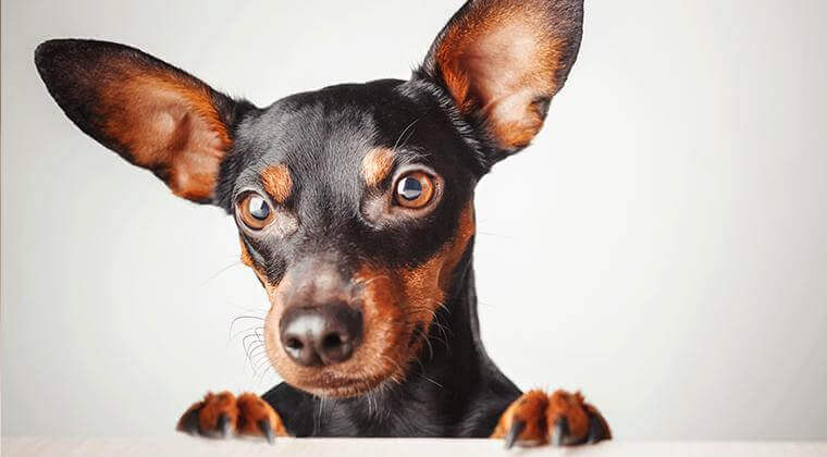 Cataracts-in-dogs-eyes