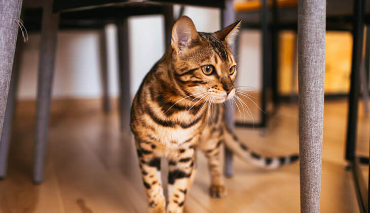 Safety of an indoor cat