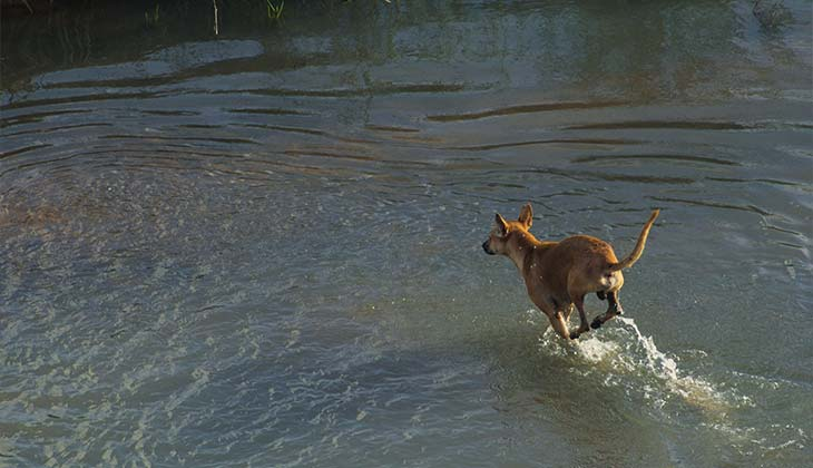 dog running into the water